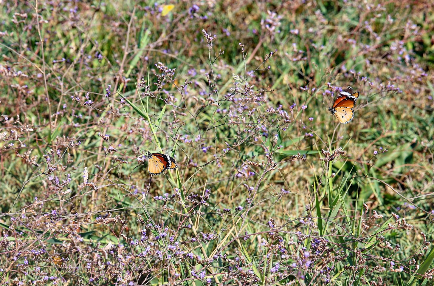 fauna op kos: vlinders